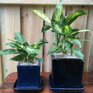 Dumbcane dieffenbachia plant
