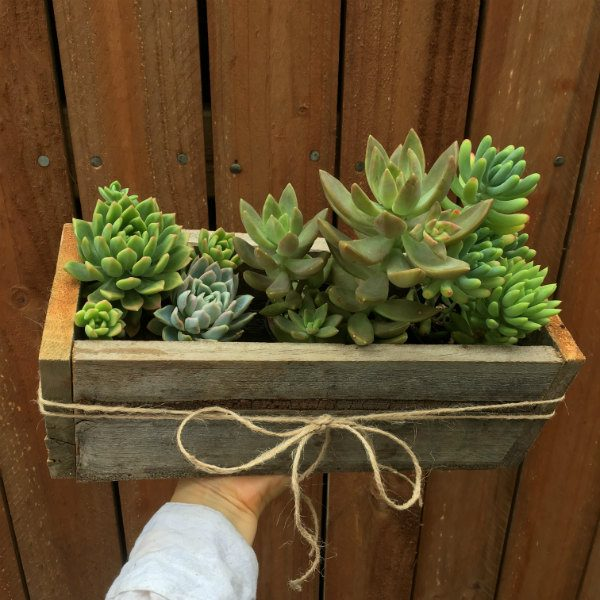 Succulents in a wooden planter
